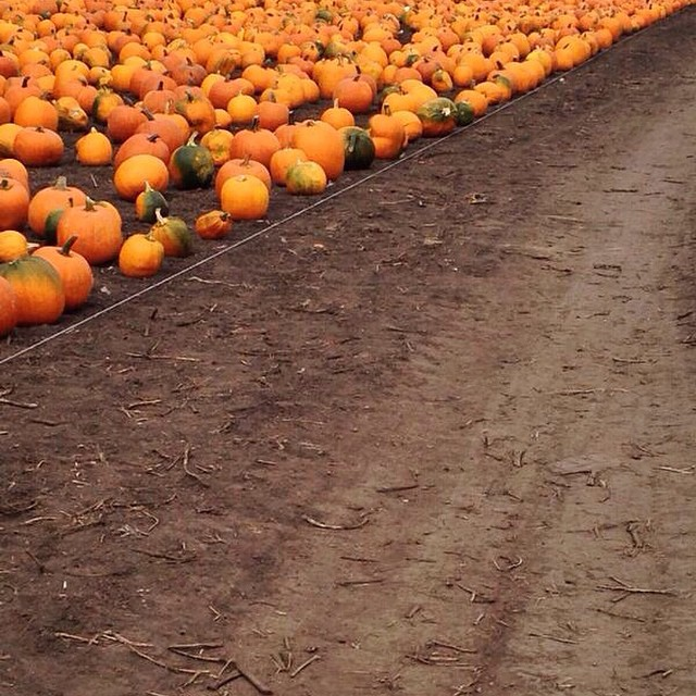pumpkin fields forever... // #mysanfranciscobreak